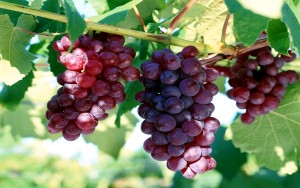 полезные свойства красного винограда для лечения