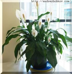 Спатифиллум полезное растение комнатное для здоровья человека