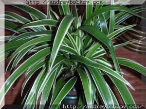 Хлорофитум полезное для человека комнатное растение